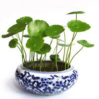 Qu_ 100Pcs Hydrocotyle Verticillata Seeds Planting Home Bonsai Garden Decor Fash