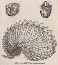 Antigüedad 1845 impresión sepia Pulpo Argonauta Kraken Calamar Nautilus Ocean 4