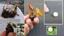 Set Zwergseerosen : 2 Bonsai-Seerosen rot & weiss + Düngekugeln / Wasserpflanzen