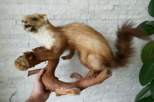 OLD LOVELY *EUROPEAN MARTEN*, TAXIDERMY COLLECTORS, about 1970