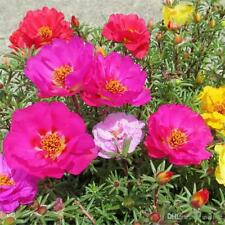MOSS ROSE - MIX - 3 LIVE PLANTS!  GroCo USA
