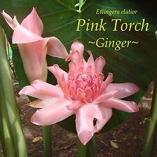 LIVE 25 SEEDS Fresh Exotic PINK TORCH Ginger USA seller Etlingera elatior