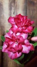 Adenium obesum Desert Rose Well Rooted Plant perfect 4 bonsai plus BONUS!!!!!