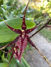 🌿Oncidium Orchid Plant - Wilhamara Pinot princess 'Princess' . Blooming Size