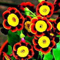 200*Annual Tri-Color Petunia Flower Seeds Bonsai Gardening Seeds Plants Super