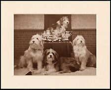 BEARDED COLLIE LOVELY DOG PRINT FOUR DOGS AND TROPHYS READY MOUNTED
