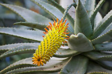 Immergrüne Aloe blühende Zimmerpflanze die Katzenschwanz Aloe !
