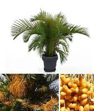 Gelee-Palme Butia Capitata Gemüse Obst für das Fensterbrett den Wintergarten