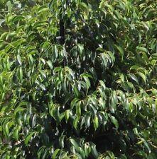 MIDNIGHT PETITE FICUS indoor or outdoor dark-green plant in 180mm pot