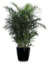 10 Samen Bambus Palme  Chamaedorea seifrizii, Zimmerpflanze, Zimmerpalme
