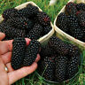 100pcs Nutritious Giant Thornless Blackbeery Seeds Antioxidant Fiber Healthful L