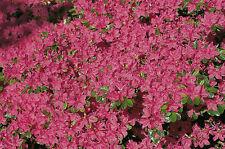 Zwergazalee Kermesina 15-20cm Rhododendron obtusum Frühlingsblüher
