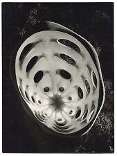 Photo A. Leoni - Coquillage - Tirage argentique d'époque 1950 -