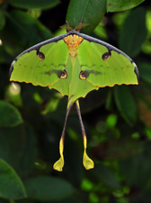 Argema mimosae - Zambian Moon Moth, sold with silk cocoon