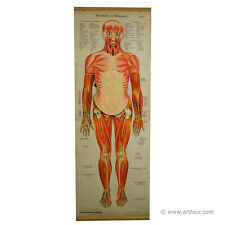an antique foldable anatomical wall chart depicting human musculature