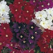 50+ VERBENA QUARTZ MIX VERVAIN PERENNIAL  FLOWER SEEDS / DEER RESISTANT