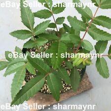 25 Boswellia Serrata Seeds, Indian Frankincense Tree Seed, Indian Olibanum Seeds