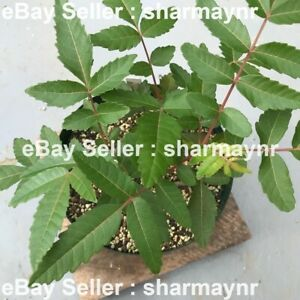 25 Boswellia Serrata Seeds, Indian Frankincense Tree Seed, Indian Olibanum Seeds