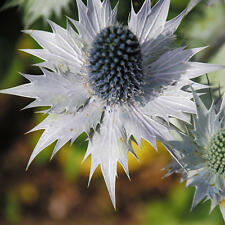 "Eryngium giganteum ""miss wilmott 'fantôme' - 30 graines-giant sea holly"