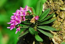 Schoenorchis Fragrans Mini/micro These Are Beginning To Spike