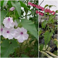 Morning Glory Tree, bog plant, pond plant, Free Ship 5 plants