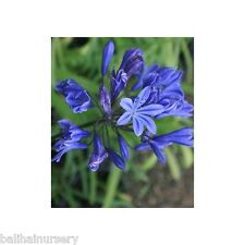 3 Agapanthus Tornado deep blue flowers  garden perennial plant