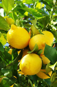 Lemon Tree Plant Citrus Easy Growing Low Maintenance Baby Fruit 8cm Plug Plant