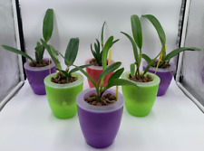 Premium Orchids - 3+ Live Cattleyas + 3 Easy Watering Pots