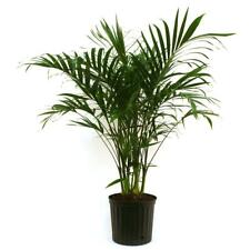 Live Indoor Houseplant Cateracterum Palm Air Purifier 9.25 In. Grower Pot