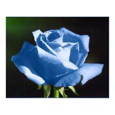 ROSE BUSH COLOUR BLUE 100 SEEDS PER PACK