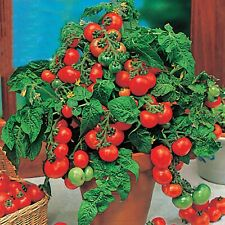 Vegetable Seeds Dwarf Cherry Tomato Lille Lise Open Pollinated Indoor NON GMO
