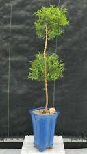 "Myrtle Plant Bonsai Tree Pom Pom Style Flowering Myrtus Communis 21 y o 30"" tall"