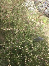 Plagianthus divaricatus - 50 seeds - Marsh Ribbonwood