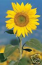 4 oz Candle Scent Oil-SUNFLOWER