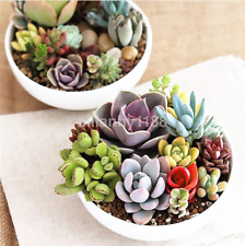 100PC Mixed Succulents Seeds Rare Succulent Potted Plant Home Decor US