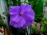 Hibiskus himmelblaue Blüten, Eibisch, Malve, winterhart, 20 Samen, Topf, Kübel