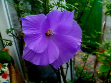 Hibiskus weiß lila Blüten, Garten Eibisch, Malve, winterhart, 20 Samen, essabar