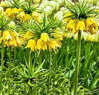 "Fritillaria ""Lutea"" Crown Imperial Giant | Spring Flowering Bulbs"