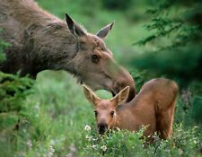 METAL MAGNET Mother Moose Checking Her Calf Baby Woods MAGNET