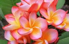 """""""B49"""" Fragrance Plumeria Healthy Cutting With Rooted 7-12"""" Easy Plant"""