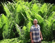 2 winterharte Riesen-Farne schnellwüchsige exotische Pflanzen im für den Garten