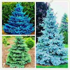100 Spruce Tree Seeds Mixed Prickly Rare Coniferous Bonsai Plants in Garden Home