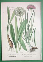 FLOWERS Victory Onion - COLOR Litho Print Botanical