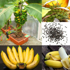 100Pcs Rare Mini Dwarf Banana Tree Seeds Home Exotic Fruits Bonsai Plant Newest