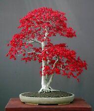 Acer palmatum (Japanese Maple Small Leaf) 20 Fresh seeds - Perfect as a bonsai