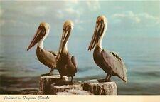 Pelicans Florida FL Postcard