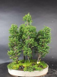 Bonsai - Scheinzypresse, Chamaecyparis Obtusa, Japan