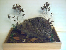 Hedgehog, in a glass case with a woodland type scenery, an excellent mount