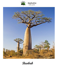 Adansonia digitata - Baobab - 5 semillas - seeds