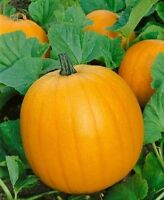 50 Pumpkin Seeds Jack O Lantern Seeds
